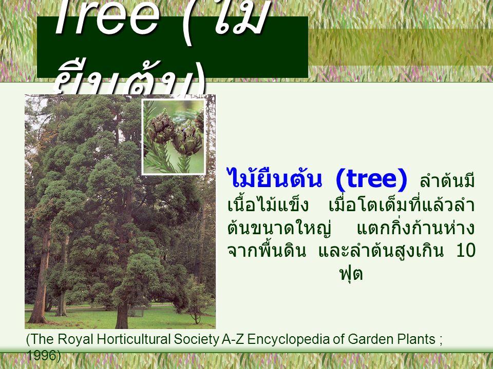 Tree ( ไม้ ยืนต้น ) ไม้ยืนต้น (tree) ลำต้นมี เนื้อไม้แข็ง เมื่อโตเต็มที่แล้วลำ ต้นขนาดใหญ่ แตกกิ่งก้านห่าง จากพื้นดิน และลำต้นสูงเกิน 10 ฟุต (The Roya