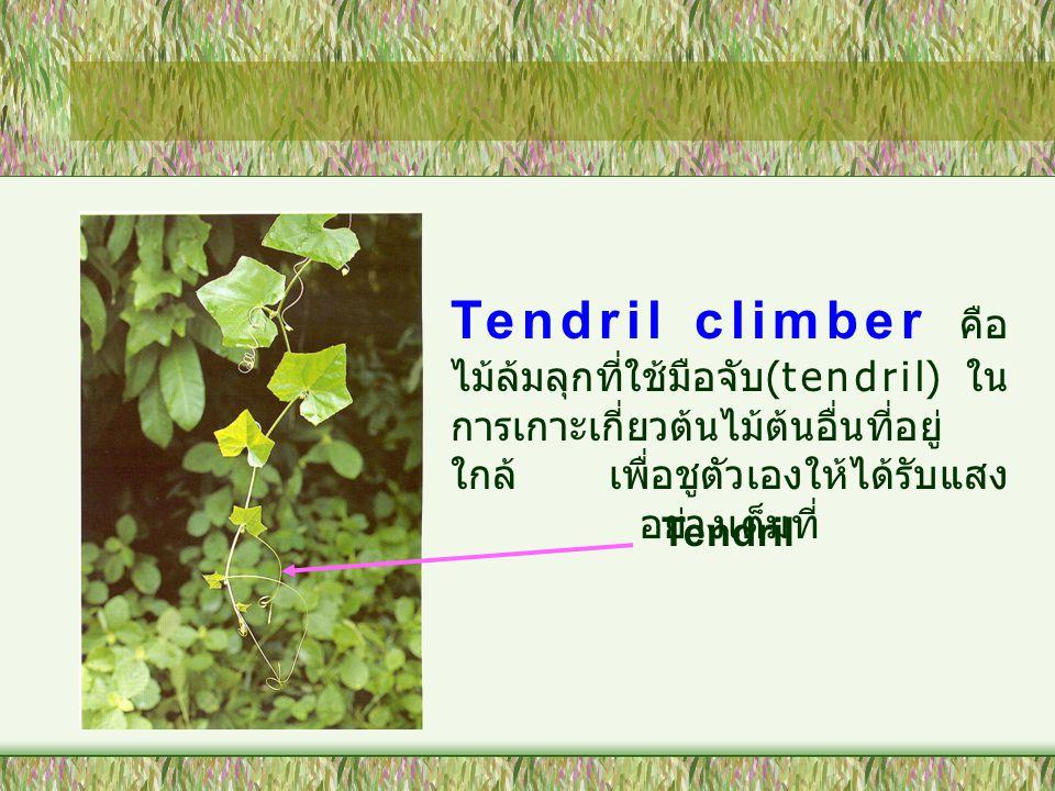 Root climber คือ ต้นไม้ที่ใช้ รากที่ออกตามข้อในการเกาะเกี่ยว ต้นไม้อื่น ๆ ที่อยู่ใกล้ ขึ้นไปรับ แสงแดด Liane คือ ไม้เลื้อยขนาดใหญ่ที่มี เนื้อไม้ ใช้ลำต้นในการพันกับต้นไม้ อื่น ๆ ขึ้นไปรับแสงด้านบน Root climber ( เภสัชพฤกษ์ ; 2544)