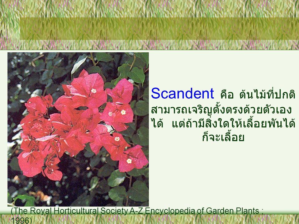 Scandent คือ ต้นไม้ที่ปกติ สามารถเจริญตั้งตรงด้วยตัวเอง ได้ แต่ถ้ามีสิ่งใดให้เลื้อยพันได้ ก็จะเลื้อย (The Royal Horticultural Society A-Z Encyclopedia