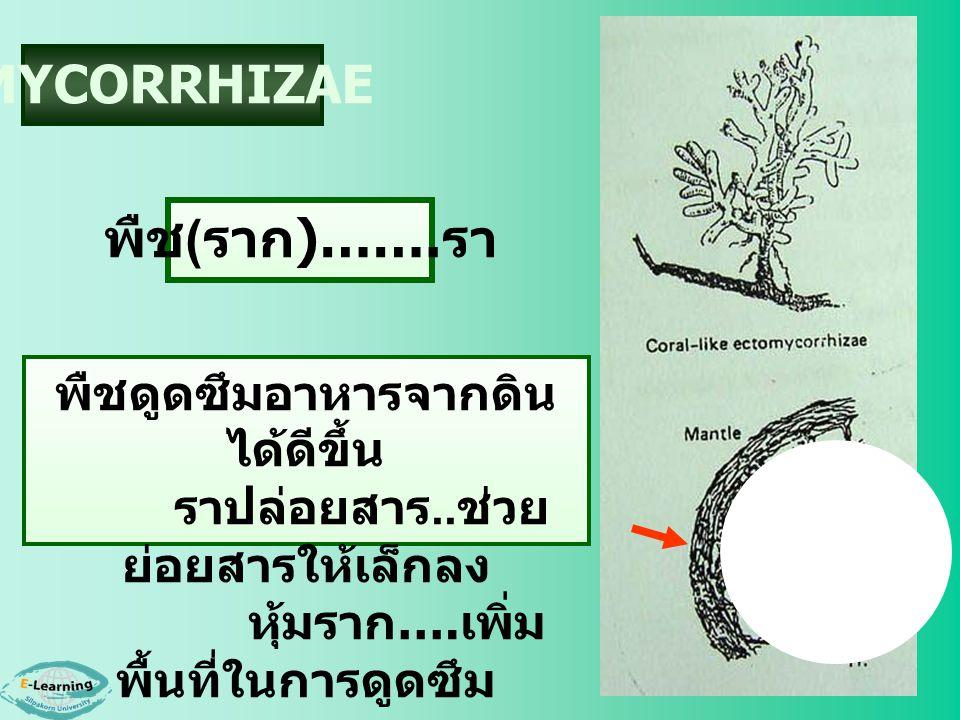 MYCORRHIZAE พืช ( ราก )……. รา พืชดูดซึมอาหารจากดิน ได้ดีขึ้น ราปล่อยสาร.. ช่วย ย่อยสารให้เล็กลง หุ้มราก …. เพิ่ม พื้นที่ในการดูดซึม