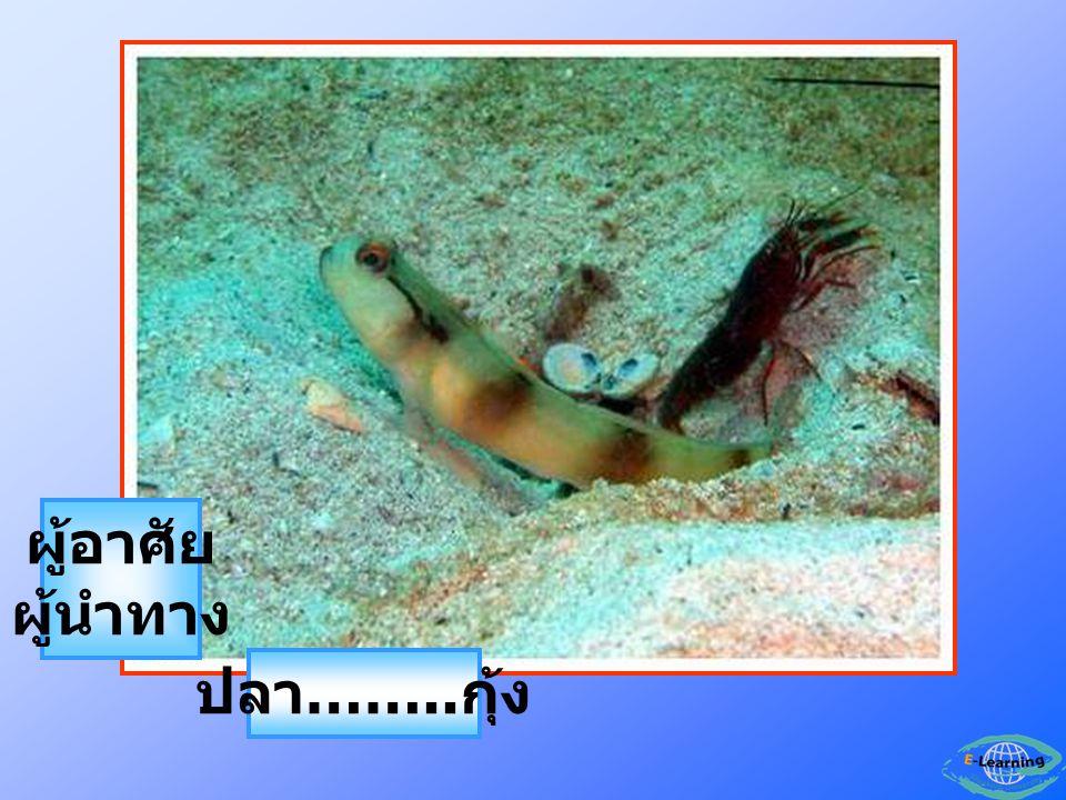ปลา …….. กุ้ง ผู้อาศัย ผู้นำทาง