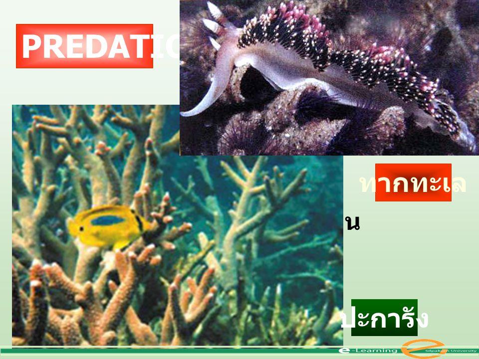 เป็นหอย ใช้ฟันขูดกิน PREDATION ทากทะเล ปะการัง