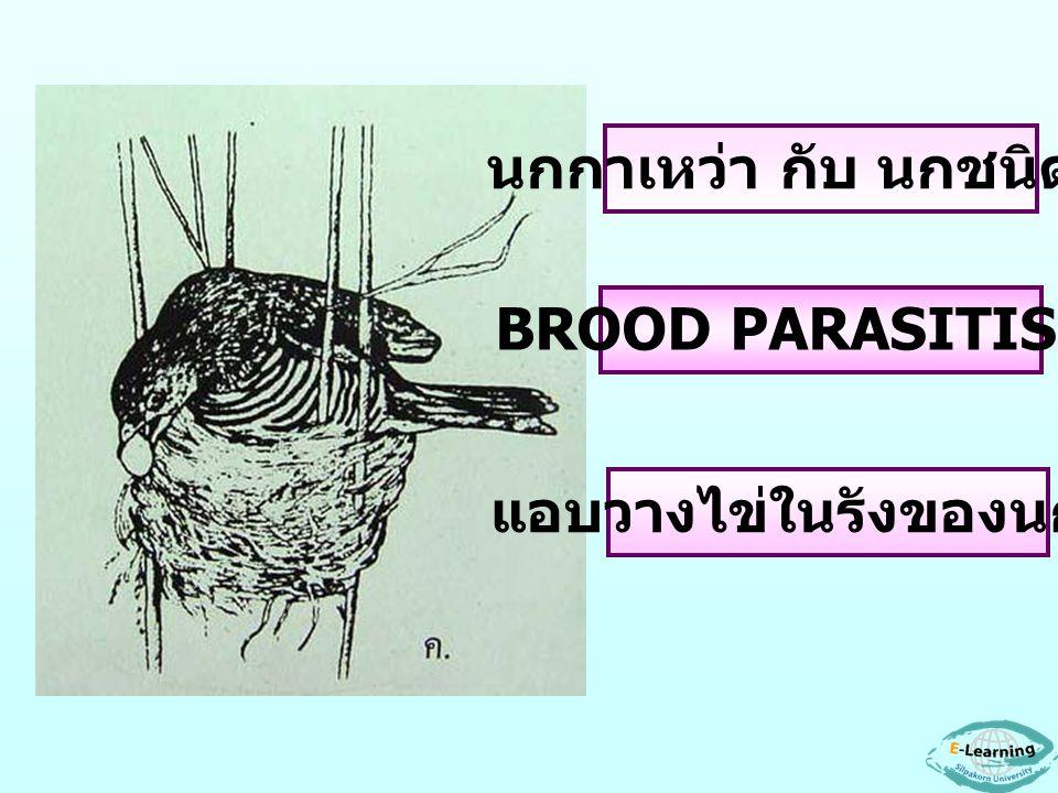 นกกาเหว่า กับ นกชนิดอื่น BROOD PARASITISM8 แอบวางไข่ในรังของนกอื่น