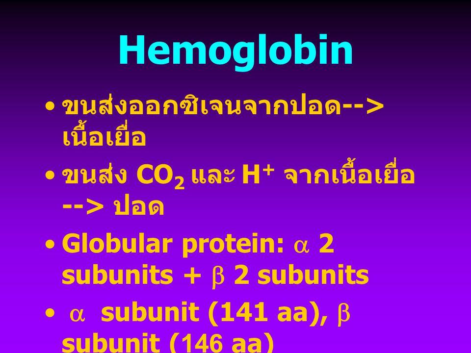 Hemoglobin ขนส่งออกซิเจนจากปอด --> เนื้อเยื่อ ขนส่ง CO 2 และ H + จากเนื้อเยื่อ --> ปอด Globular protein:  2 subunits +  2 subunits  subunit (141 aa),  subunit (146 aa)