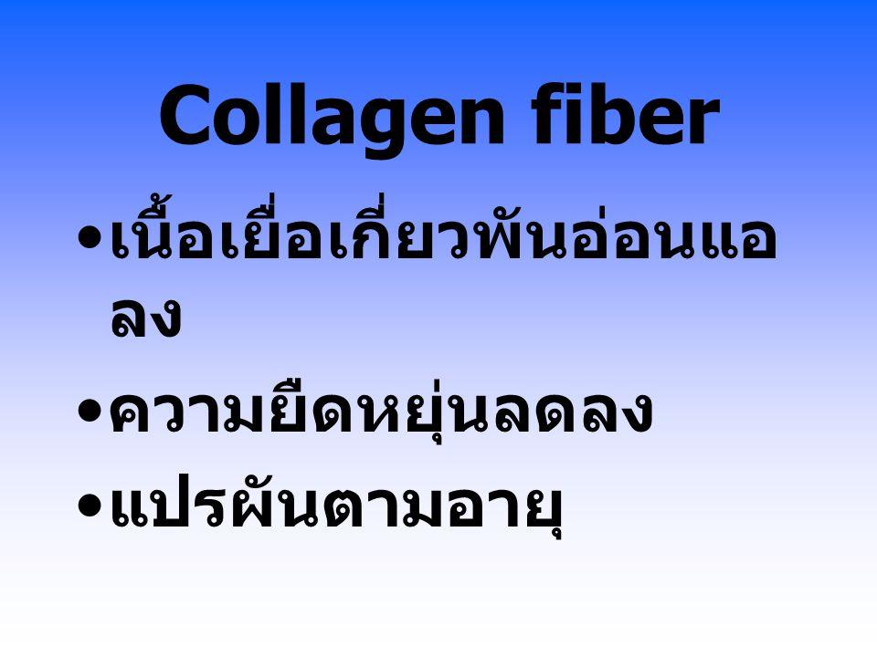 Collagen fiber เนื้อเยื่อเกี่ยวพันอ่อนแอ ลง ความยืดหยุ่นลดลง แปรผันตามอายุ