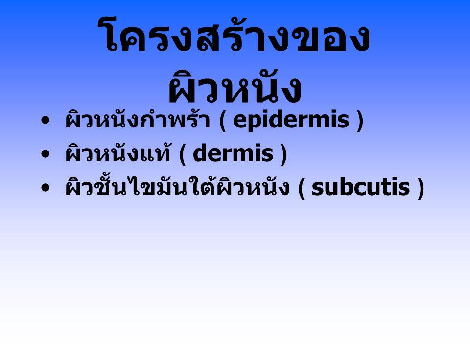 โครงสร้างของ ผิวหนัง ผิวหนังกำพร้า ( epidermis ) ผิวหนังแท้ ( dermis ) ผิวชั้นไขมันใต้ผิวหนัง ( subcutis )