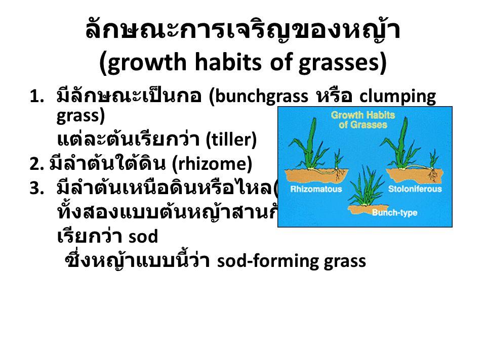 ลักษณะการเจริญของหญ้า (growth habits of grasses) 1. มีลักษณะเป็นกอ (bunchgrass หรือ clumping grass) แต่ละต้นเรียกว่า (tiller) 2. มีลำต้นใต้ดิน (rhizom
