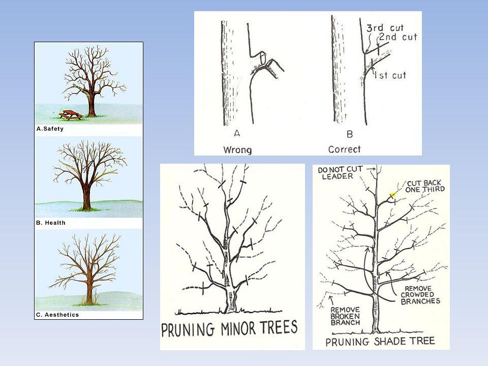 หลักการตัดแต่งกิ่ง (pruning) 1.กิ่งตอที่เหลืออยู่ 2.