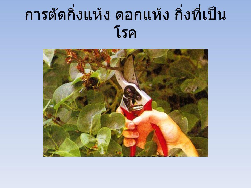 การตัดกิ่งแห้ง ดอกแห้ง กิ่งที่เป็น โรค