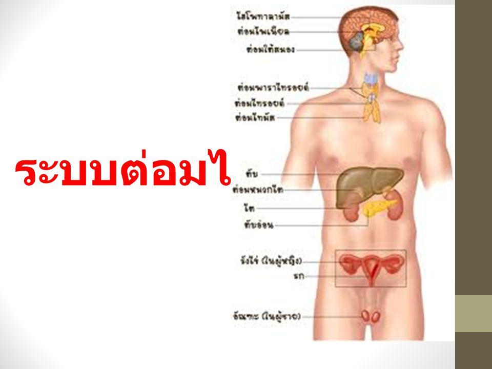ต่อมเพศ ( gonads ) ในเพศชายคือ อัณฑะ ในเพศหญิง คือรังไข่ ซึ่งมีหน้าที่สร้างเซลล์ สืบพันธุ์ และสร้างฮอร์โมน ดังนี้ 1) ฮอร์โมนเพศชาย คือ เทสทอสเตอ โรน ซึ่งทำหน้าที่หลายอย่าง เช่น ควบคุมการ เจริญเติบโตของอวัยวะ สืบพันธุ์ ควบคุมการหลั่งฮอร์โมน ของเพศชาย