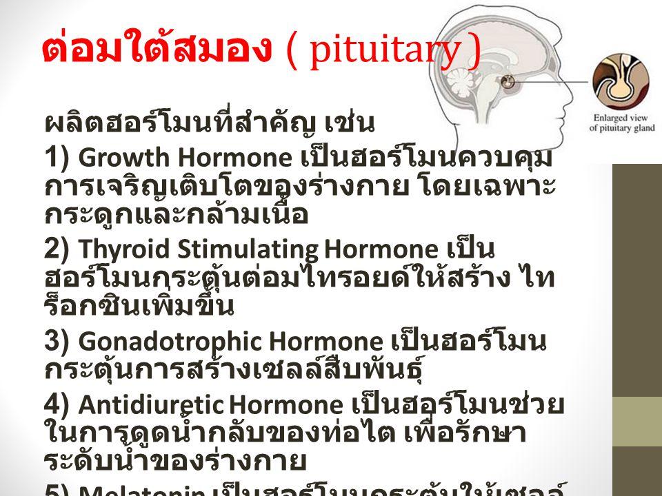 ต่อมใต้สมอง ( pituitary ) ผลิตฮอร์โมนที่สำคัญ เช่น 1) Growth Hormone เป็นฮอร์โมนควบคุม การเจริญเติบโตของร่างกาย โดยเฉพาะ กระดูกและกล้ามเนื้อ 2) Thyroid Stimulating Hormone เป็น ฮอร์โมนกระตุ้นต่อมไทรอยด์ให้สร้าง ไท ร็อกซินเพิ่มขึ้น 3) Gonadotrophic Hormone เป็นฮอร์โมน กระตุ้นการสร้างเซลล์สืบพันธุ์ 4) Antidiuretic Hormone เป็นฮอร์โมนช่วย ในการดูดน้ำกลับของท่อไต เพื่อรักษา ระดับน้ำของร่างกาย 5) Melatonin เป็นฮอร์โมนกระตุ้นให้เซลล์ เม็ดสีสร้างเม็ดสีเพิ่มมากขึ้น