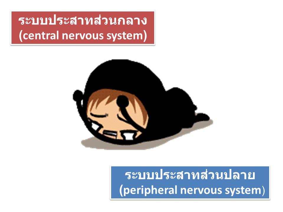 ระบบประสาทส่วนกลาง (central nervous system) ระบบประสาทส่วนกลาง (central nervous system) ระบบประสาทส่วนปลาย (peripheral nervous system ) ระบบประสาทส่วน