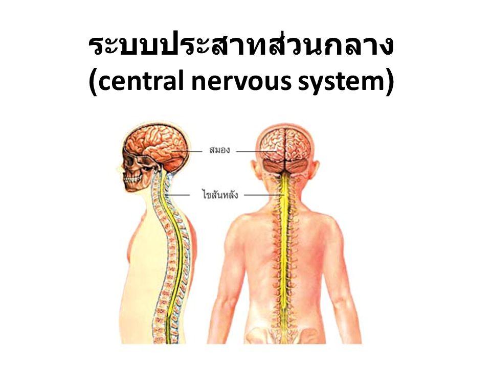 ระบบประสาทส่วนกลาง (central nervous system)