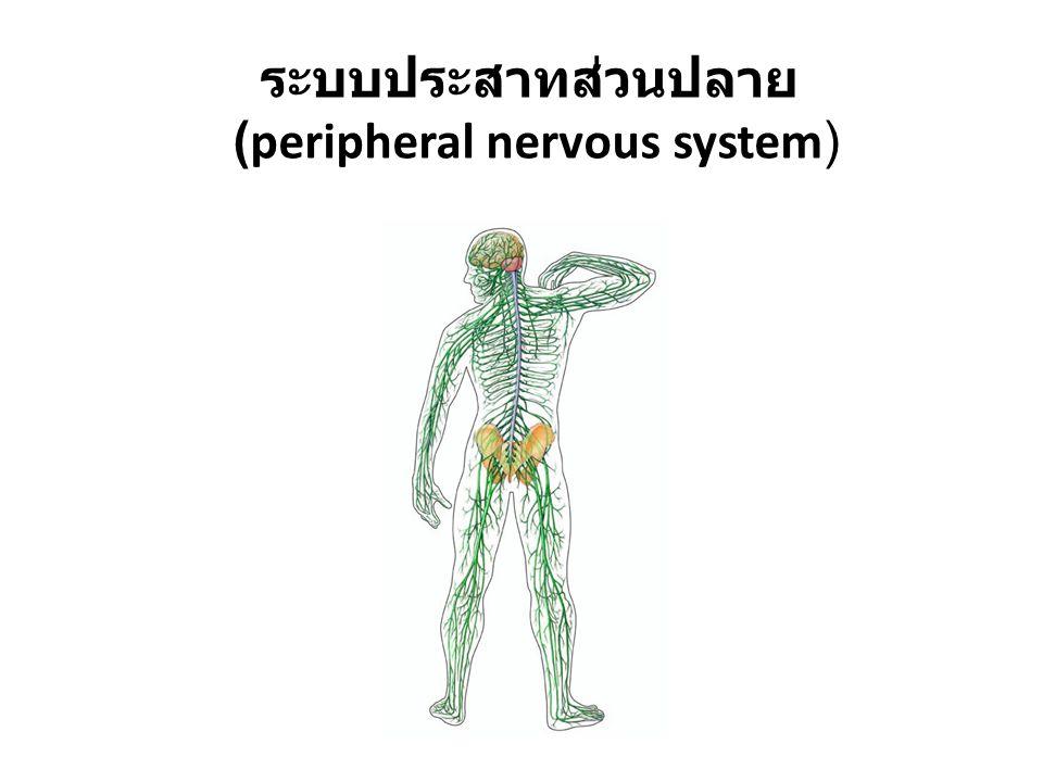ระบบประสาทส่วนปลาย (peripheral nervous system)
