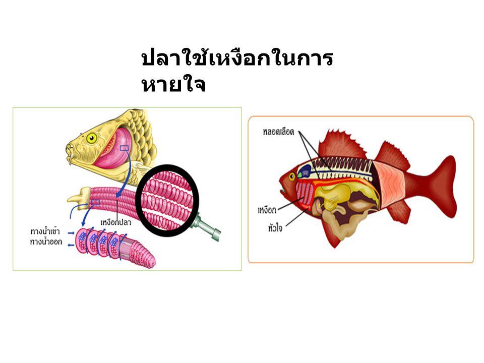 ปลาใช้เหงือกในการ หายใจ