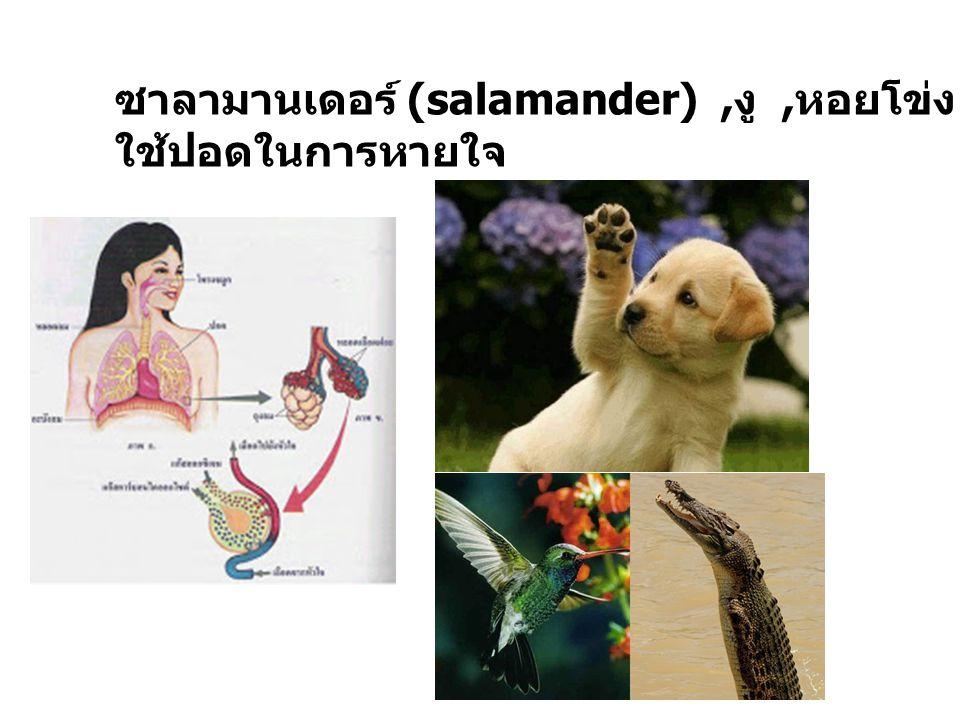 ซาลามานเดอร์ (salamander), งู, หอยโข่ง, หนู, สุนัข, นก, คน ใช้ปอดในการหายใจ