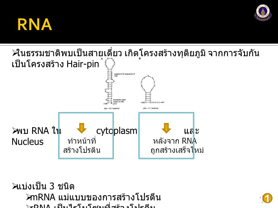 12  Denatured DNA  Break down H-bonds by heat or alkaline ขนาดรูปร่าง  ความหนาแน่นของ DNA ขึ้นกับขนาดและรูปร่าง Supercoiled form Linear form Circular form ที่มา : http://www.sbs.utexas.edu/395J/395J_2009/Readings/Lecture%202/Supercoiling.pdf D: Supercoiled > Linear > Circular
