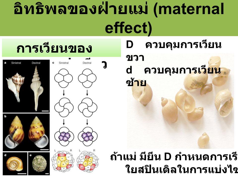 อิทธิพลของฝ่ายแม่ (maternal effect) การเวียนของ หอยฝาเดียว ถ้าแม่ มียีน D กำหนดการเรียงตัวของสาย ใยสปินเดิลในการแบ่งไซโกตครั้งที่ 2 D ควบคุมการเวียน ขวา d ควบคุมการเวียน ซ้าย
