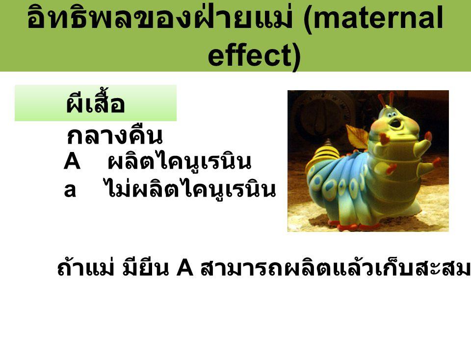 อิทธิพลของฝ่ายแม่ (maternal effect) ผีเสื้อ กลางคืน A ผลิตไคนูเรนิน a ไม่ผลิตไคนูเรนิน ถ้าแม่ มียีน A สามารถผลิตแล้วเก็บสะสมในไซโตพลาสซึม
