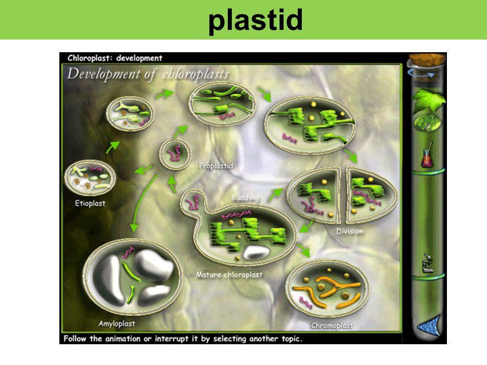 Chloroplast Mitochondria 121,024bp photosynt hesis 17,000bp Oxidative phosphosystem