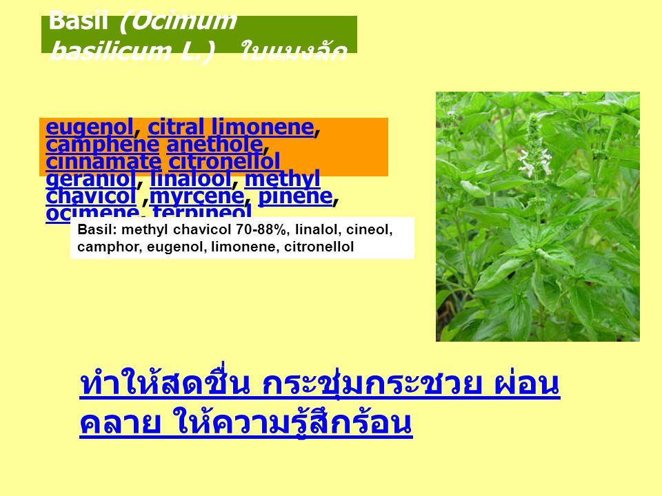 Basil (Ocimum basilicum L.) ใบแมงลัก ทำให้สดชื่น กระชุ่มกระชวย ผ่อน คลาย ให้ความรู้สึกร้อน eugenoleugenol, citral limonene, camphene anethole, cinnama