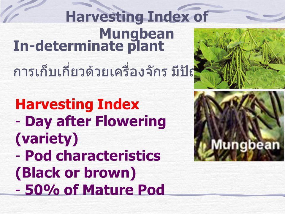 Harvesting Index of Mungbean In-determinate plant การเก็บเกี่ยวด้วยเครื่องจักร มีปัญหา Harvesting Index - Day after Flowering (variety) - Pod characte