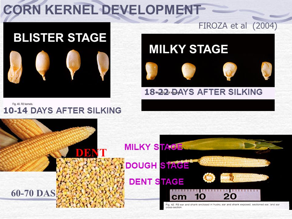 Harvesting Index of corn Stage of ripenessApproximate Characteristics moisture content (%) Milky ripeness 50 Grain stem milky grain Stage of ripeness Dead ripeness 10-14 Grain glass-hard, tend to fall out of the chaff.