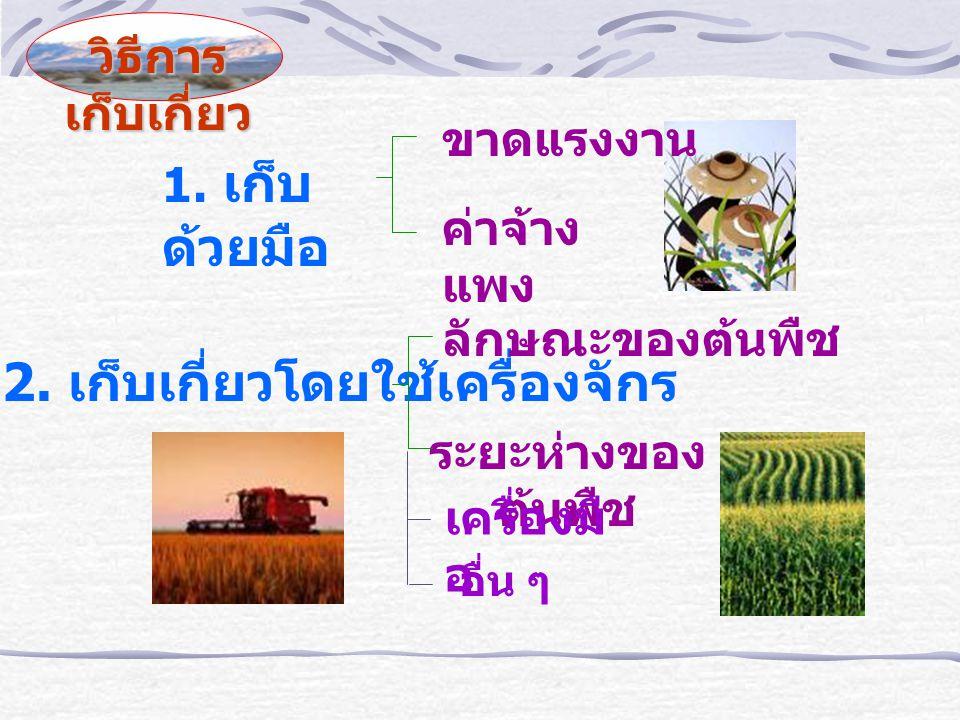 Harvesting Index of Mungbean In-determinate plant การเก็บเกี่ยวด้วยเครื่องจักร มีปัญหา Harvesting Index - Day after Flowering (variety) - Pod characteristics (Black or brown) - 50% of Mature Pod