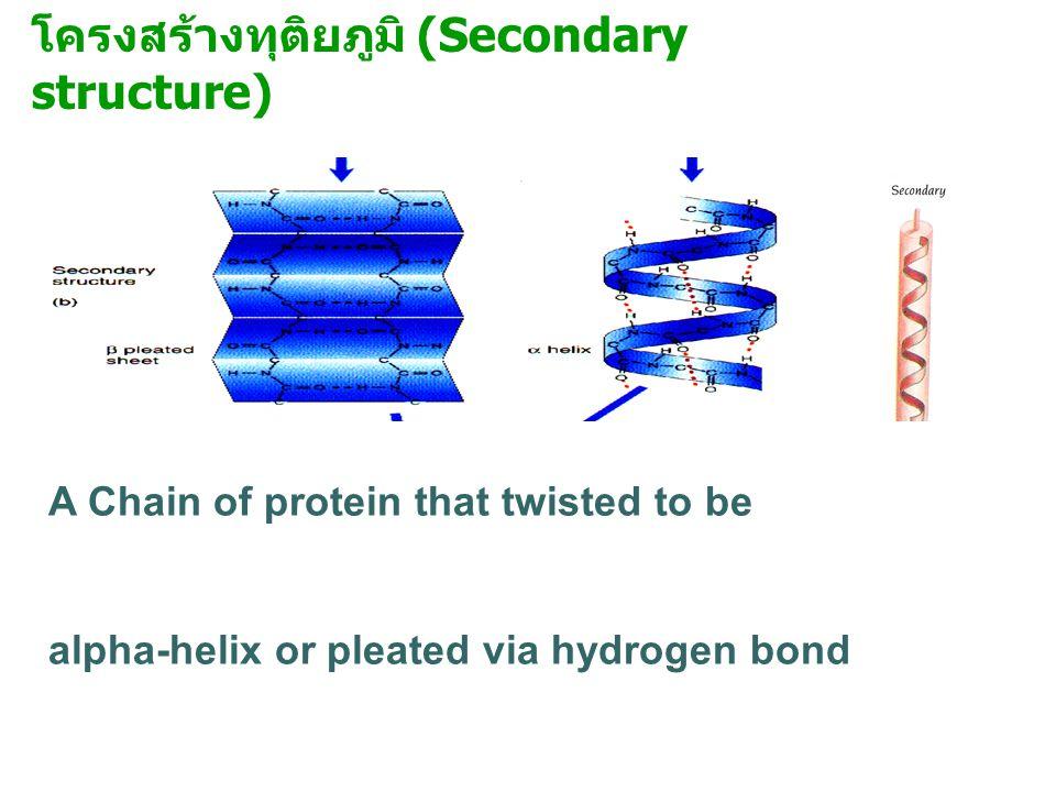 โครงสร้างทุติยภูมิ (Secondary structure) A Chain of protein that twisted to be alpha-helix or pleated via hydrogen bond