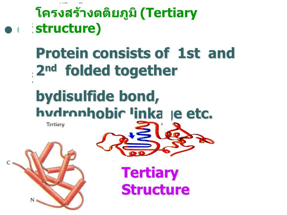 โครงสร้างตติยภูมิ (Tertiary structure) Protein consists of 1st and 2 nd folded together bydisulfide bond, hydrophobic linkage etc. Tertiary Structure