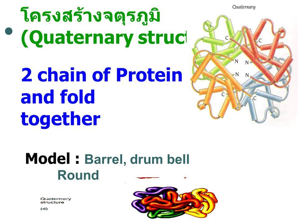 โครงสร้างจตุรภูมิ (Quaternary structure) 2 chain of Protein bind and fold together Model : Barrel, drum bell Round