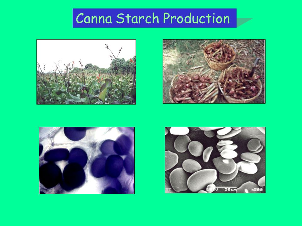 Canna Starch Production