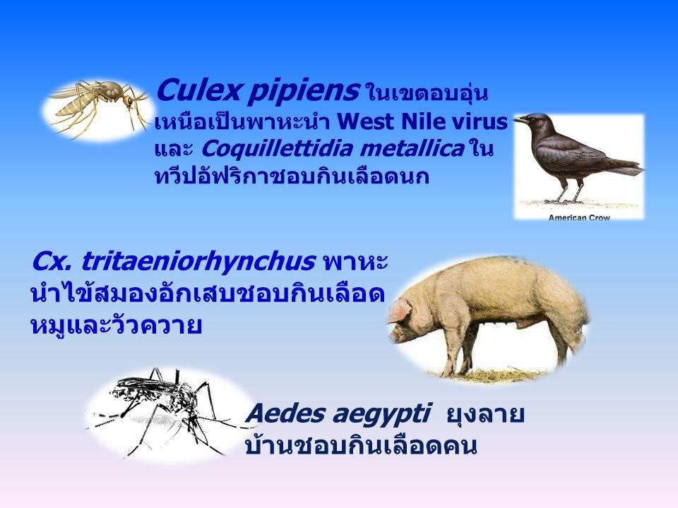 Aedes aegypti ยุงลาย บ้านชอบกินเลือดคน Cx. tritaeniorhynchus พาหะ นำไข้สมองอักเสบชอบกินเลือด หมูและวัวควาย Culex pipiens ในเขตอบอุ่น เหนือเป็นพาหะนำ W