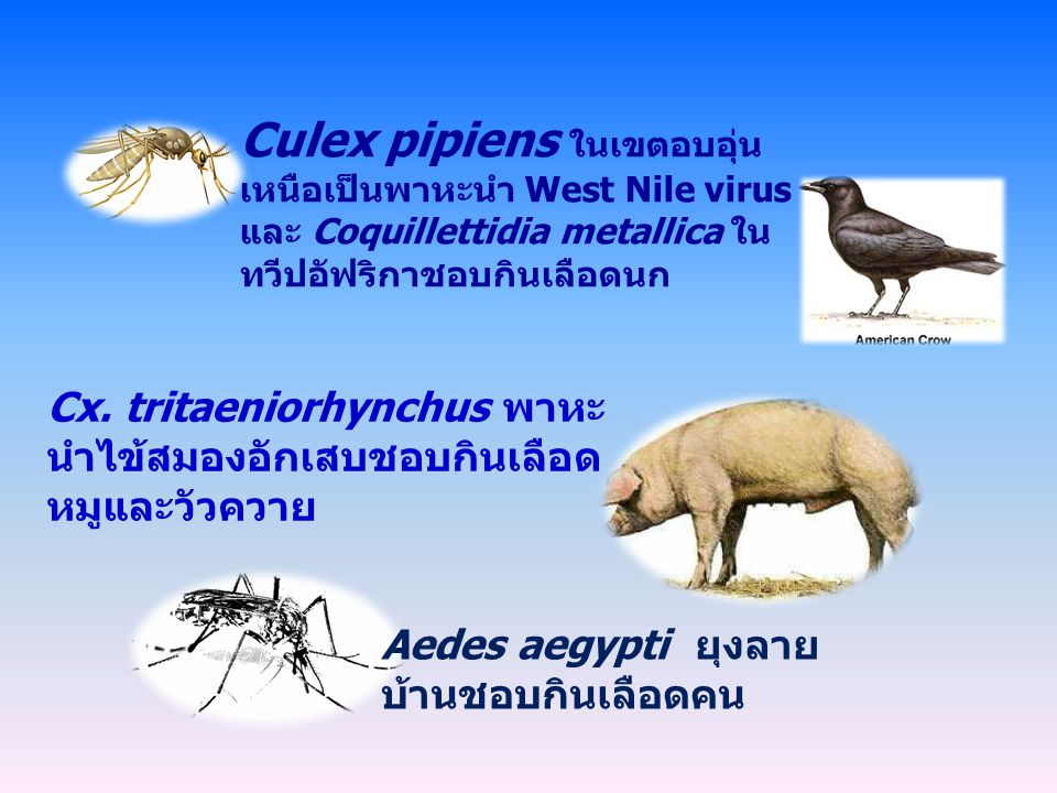 Aedes aegypti ยุงลาย บ้านชอบกินเลือดคน Cx.