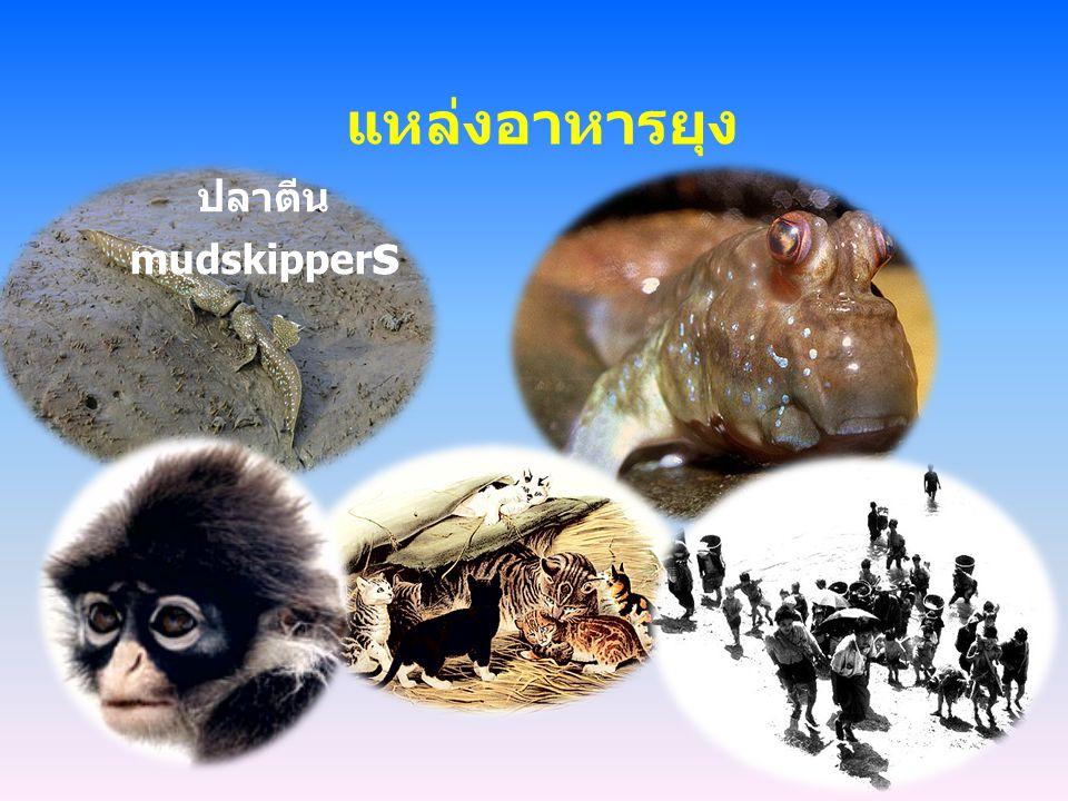 แหล่งอาหารยุง ปลาตีน mudskipper s