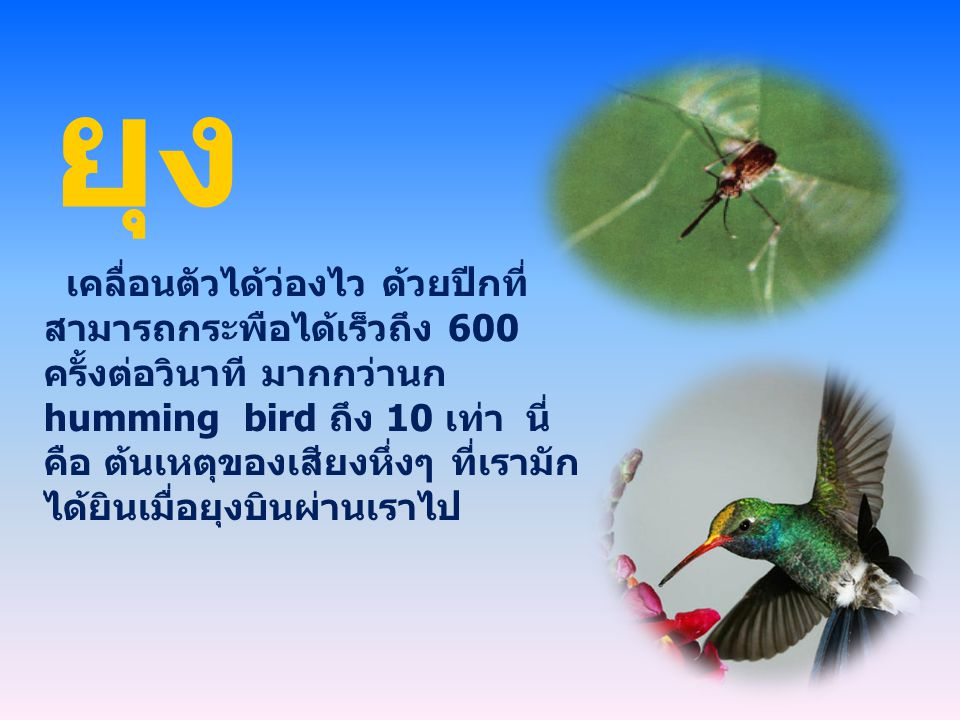 ยุง เคลื่อนตัวได้ว่องไว ด้วยปีกที่ สามารถกระพือได้เร็วถึง 600 ครั้งต่อวินาที มากกว่านก humming bird ถึง 10 เท่า นี่ คือ ต้นเหตุของเสียงหึ่งๆ ที่เรามัก ได้ยินเมื่อยุงบินผ่านเราไป