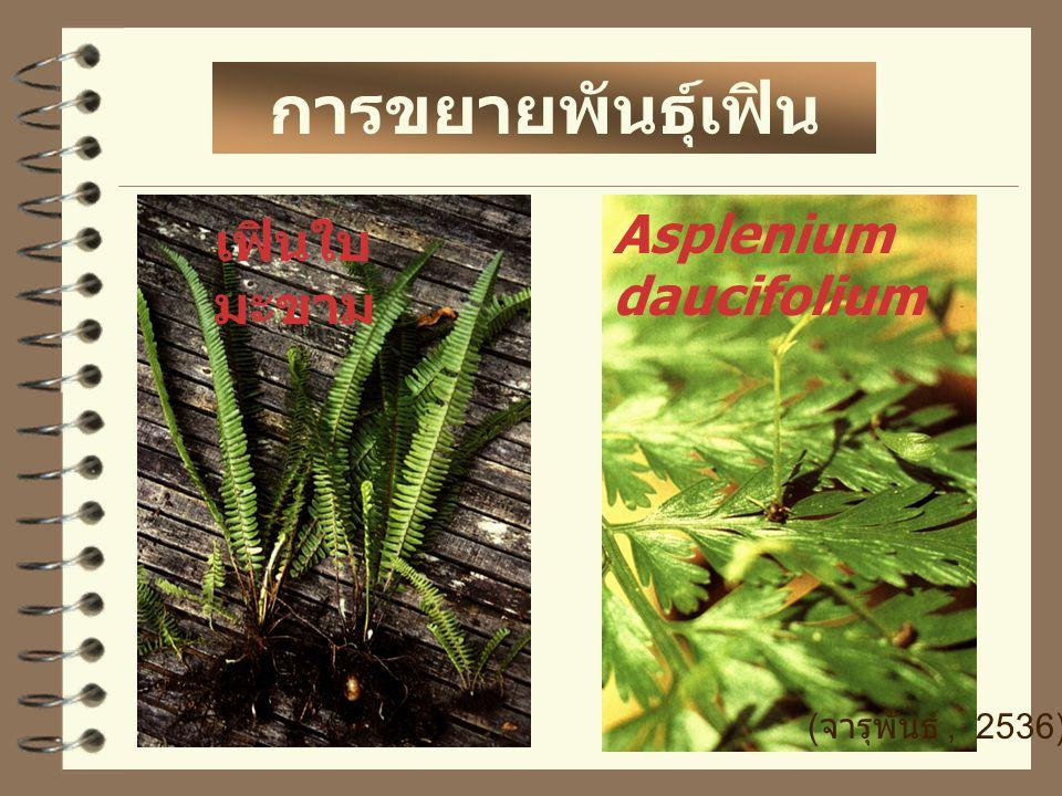 การขยายพันธุ์เฟิน เฟินใบ มะขาม Asplenium daucifolium ( จารุพันธ์, 2536)