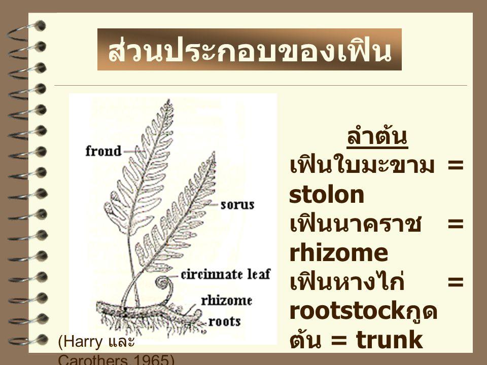 ส่วนประกอบของเฟิน ลำต้น เฟินใบมะขาม = stolon เฟินนาคราช = rhizome เฟินหางไก่ = rootstock กูด ต้น = trunk (Harry และ Carothers.1965)
