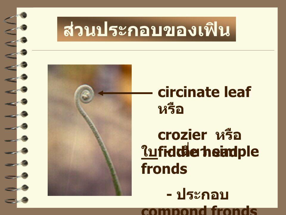 ส่วนประกอบของเฟิน circinate leaf หรือ crozier หรือ fiddle head ใบ - เดี่ยว simple fronds - ประกอบ compond fronds