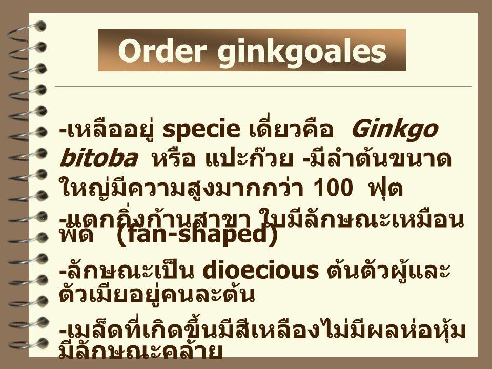 Order ginkgoales - เหลืออยู่ specie เดี่ยวคือ Ginkgo bitoba หรือ แปะก๊วย - มีลำต้นขนาด ใหญ่มีความสูงมากกว่า 100 ฟุต - แตกกิ่งก้านสาขา ใบมีลักษณะเหมือน