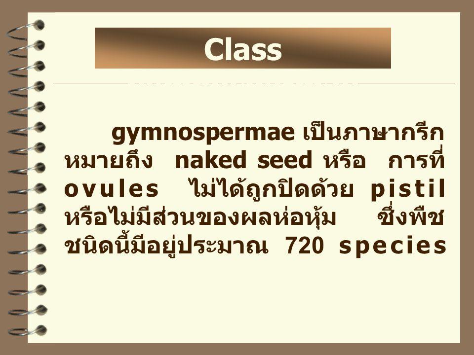 Class gymnospermae gymnospermae เป็นภาษากรีก หมายถึง naked seed หรือ การที่ ovules ไม่ได้ถูกปิดด้วย pistil หรือไม่มีส่วนของผลห่อหุ้ม ซึ่งพืช ชนิดนี้มี