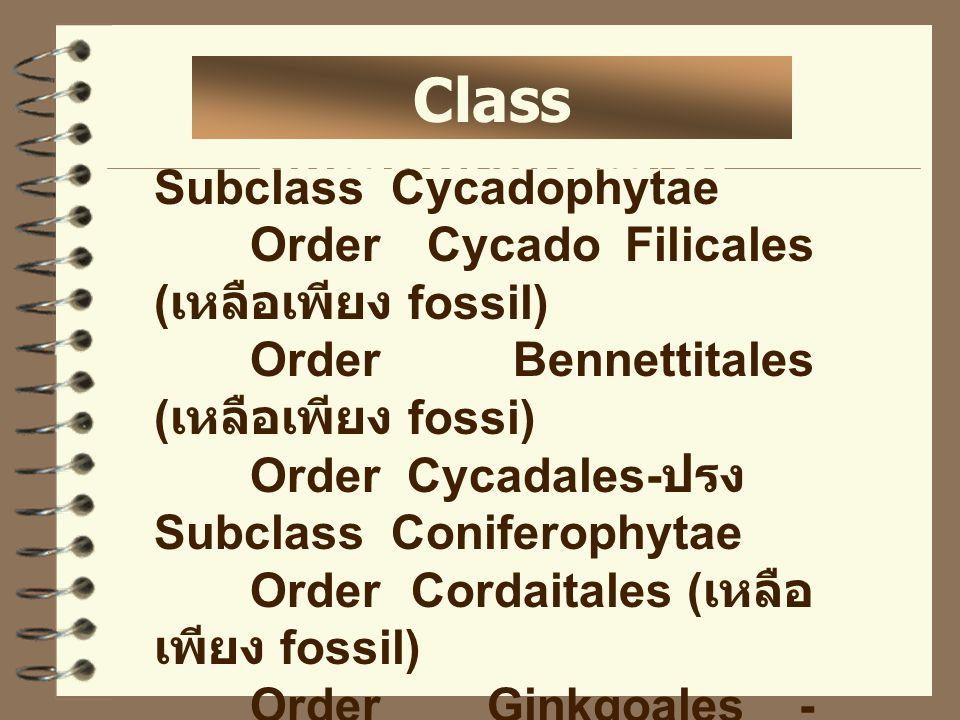 Class gymnospermae Subclass Cycadophytae Order Cycado Filicales ( เหลือเพียง fossil) Order Bennettitales ( เหลือเพียง fossi) Order Cycadales- ปรง Subc