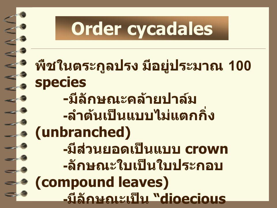 Order cycadales พืชในตระกูลปรง มีอยู่ประมาณ 100 species - มีลักษณะคล้ายปาล์ม - ลำต้นเป็นแบบไม่แตกกิ่ง (unbranched) - มีส่วนยอดเป็นแบบ crown - ลักษณะใบ
