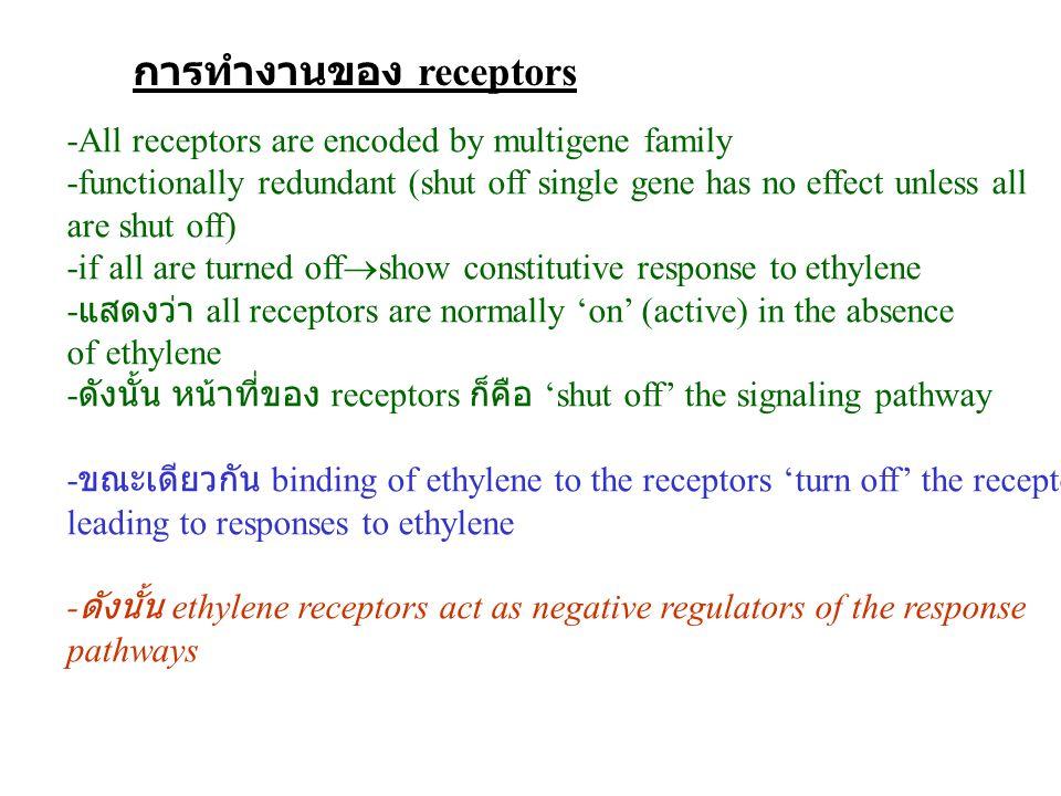 การทำงานของ receptors -All receptors are encoded by multigene family -functionally redundant (shut off single gene has no effect unless all are shut off) -if all are turned off  show constitutive response to ethylene - แสดงว่า all receptors are normally 'on' (active) in the absence of ethylene - ดังนั้น หน้าที่ของ receptors ก็คือ 'shut off' the signaling pathway - ขณะเดียวกัน binding of ethylene to the receptors 'turn off' the receptors leading to responses to ethylene - ดังนั้น ethylene receptors act as negative regulators of the response pathways