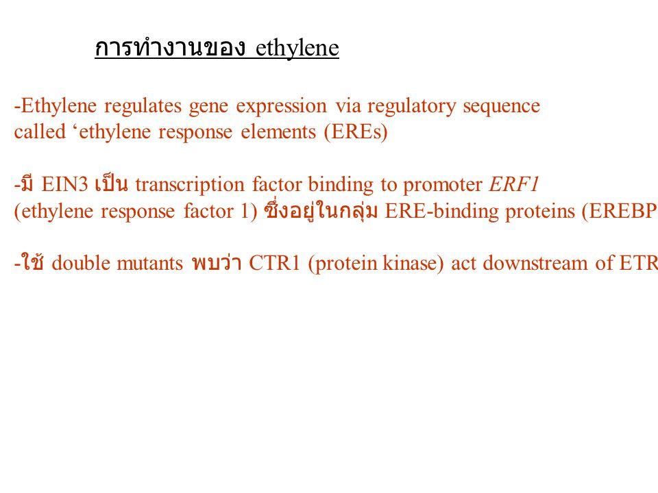 การทำงานของ ethylene -Ethylene regulates gene expression via regulatory sequence called 'ethylene response elements (EREs) - มี EIN3 เป็น transcriptio