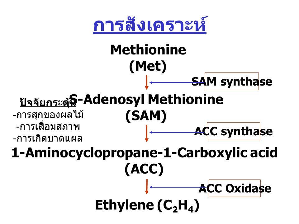 การสังเคราะห์ Methionine (Met) S-Adenosyl Methionine (SAM) 1-Aminocyclopropane-1-Carboxylic acid (ACC) Ethylene (C 2 H 4 ) SAM synthase ACC synthase ACC Oxidase ปัจจัยกระตุ้น - การสุกของผลไม้ - การเสื่อมสภาพ - การเกิดบาดแผล