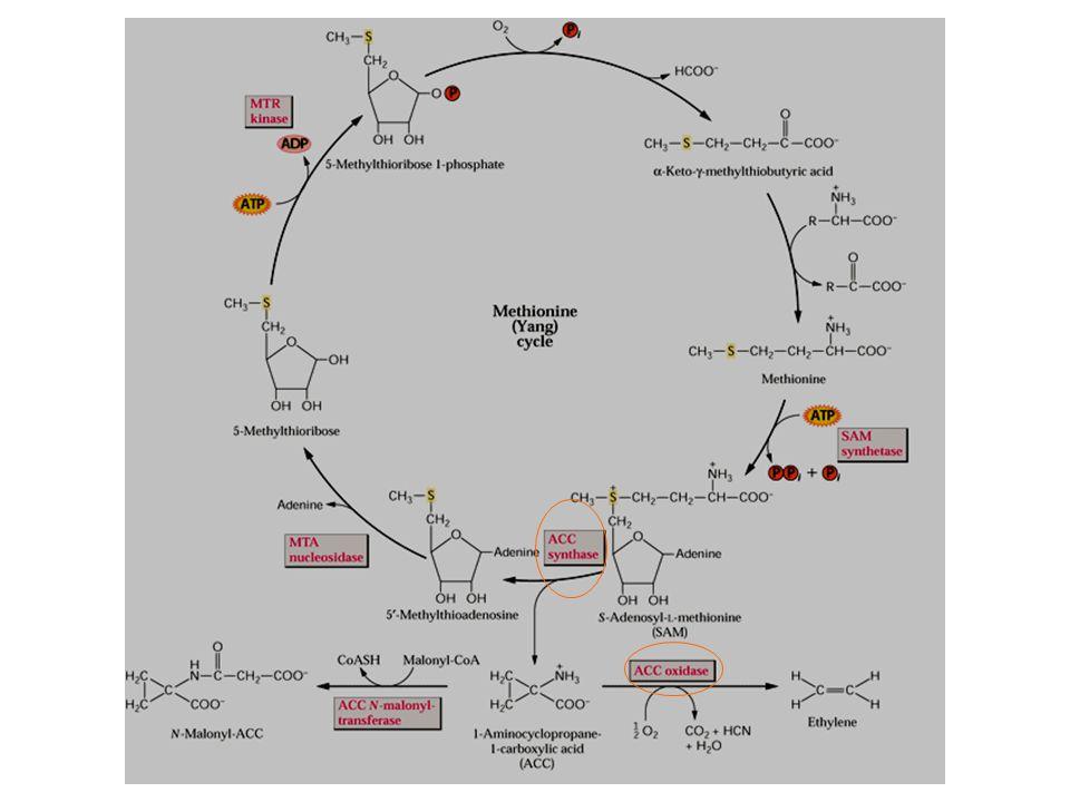 การทำงานของ ethylene -Ethylene regulates gene expression via regulatory sequence called 'ethylene response elements (EREs) - มี EIN3 เป็น transcription factor binding to promoter ERF1 (ethylene response factor 1) ซึ่งอยู่ในกลุ่ม ERE-binding proteins (EREBP) - ใช้ double mutants พบว่า CTR1 (protein kinase) act downstream of ETR1