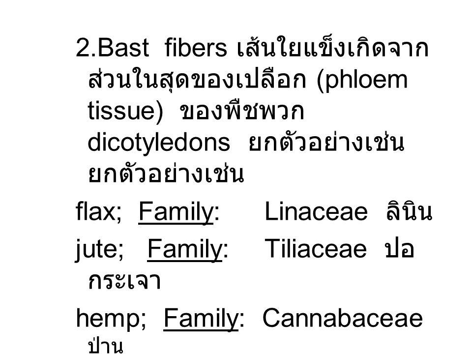 2.Bast fibers เส้นใยแข็งเกิดจาก ส่วนในสุดของเปลือก (phloem tissue) ของพืชพวก dicotyledons ยกตัวอย่างเช่น ยกตัวอย่างเช่น flax; Family: Linaceae ลินิน j