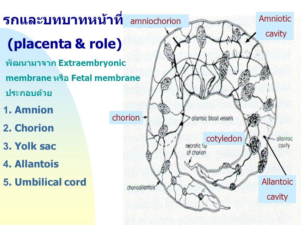 Jump to first page รกและบทบาทหน้าที่ (placenta & role) พัฒนามาจาก Extraembryonic membrane หรือ Fetal membrane ประกอบด้วย 1. Amnion 2. Chorion 3. Yolk