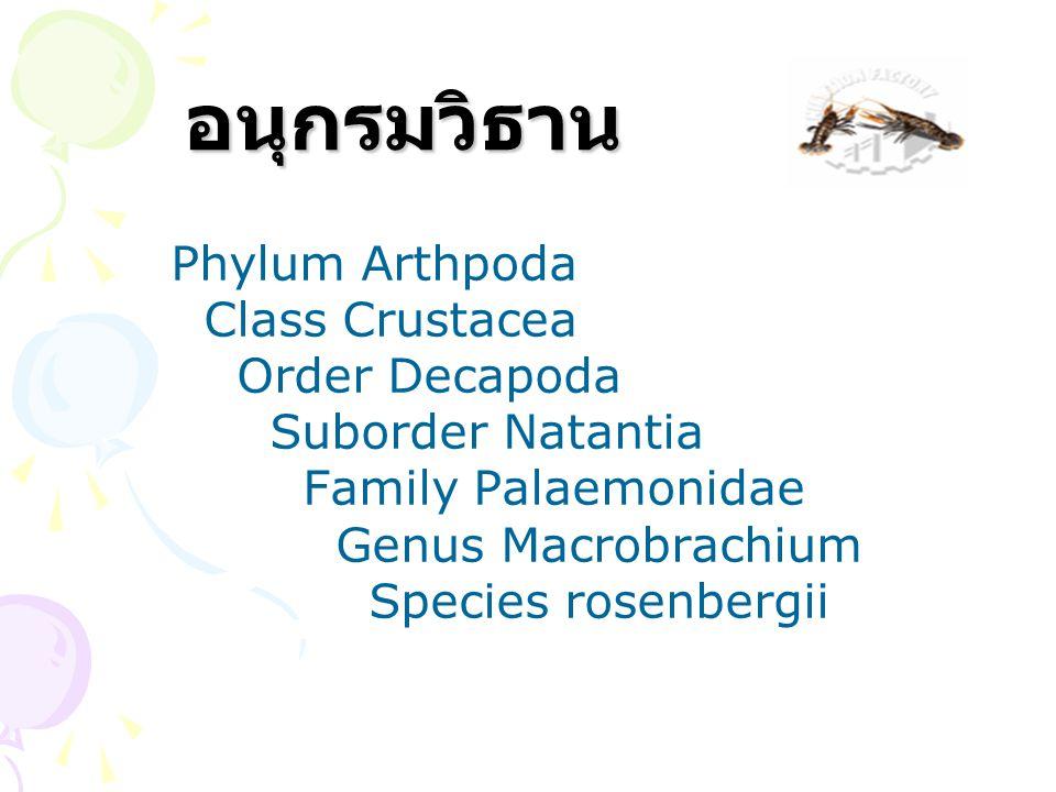 อนุกรมวิธาน อนุกรมวิธาน Phylum Arthpoda Class Crustacea Order Decapoda Suborder Natantia Family Palaemonidae Genus Macrobrachium Species rosenbergii